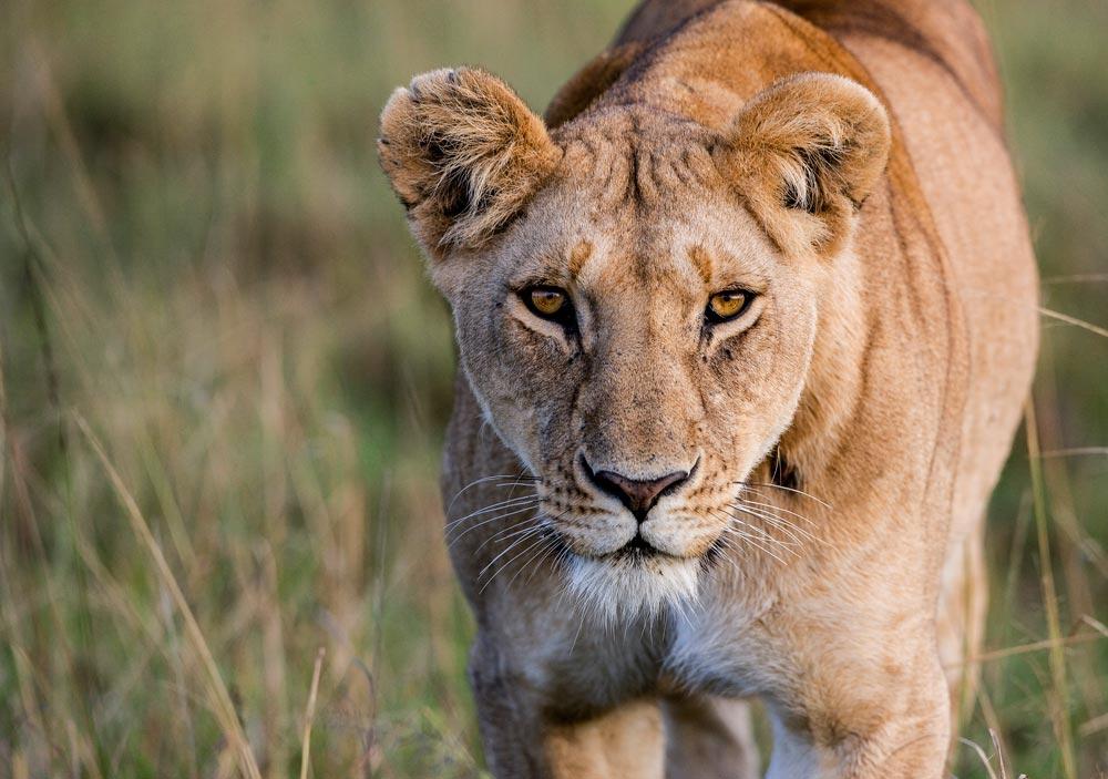 K259 Masai Mara, Löwin / lioness