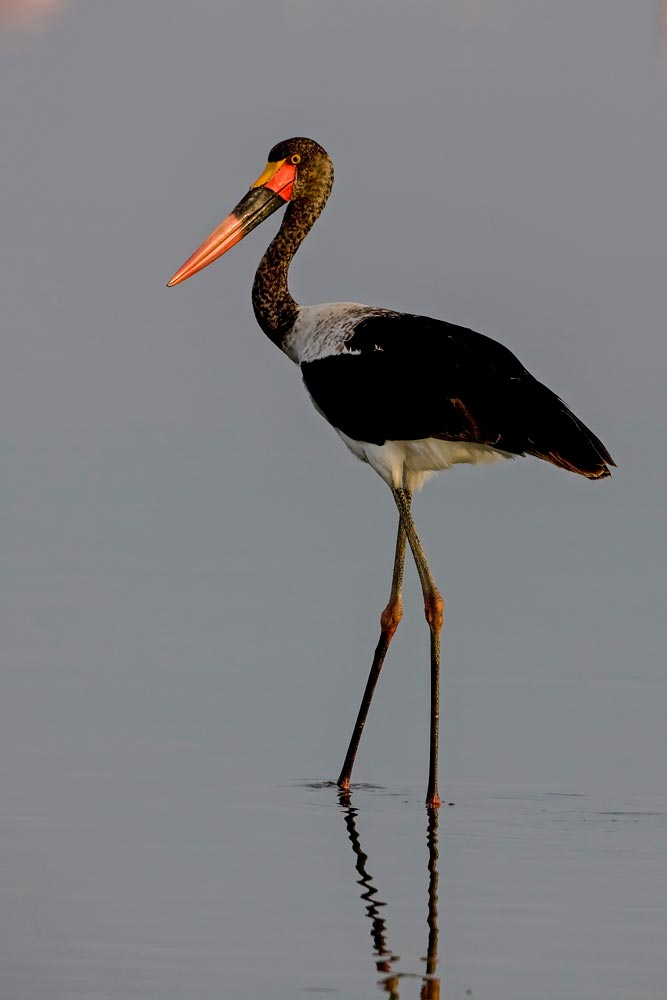K272 Lake Nakuru, Sattelstorch / saddle-bill stork