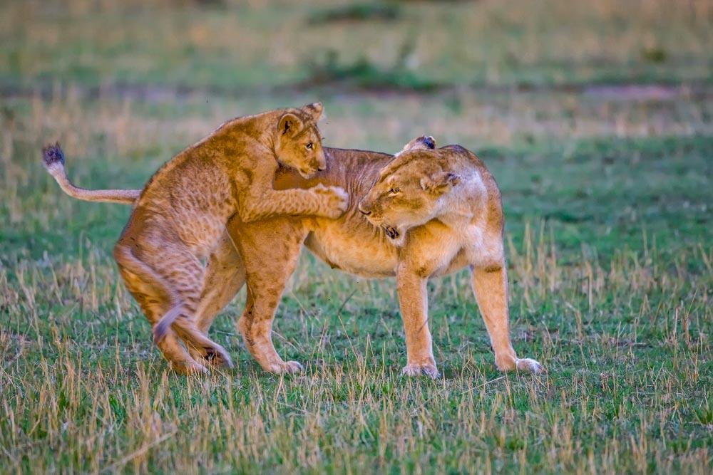 K280 Masai Mara, spielende Löwen / lions playing