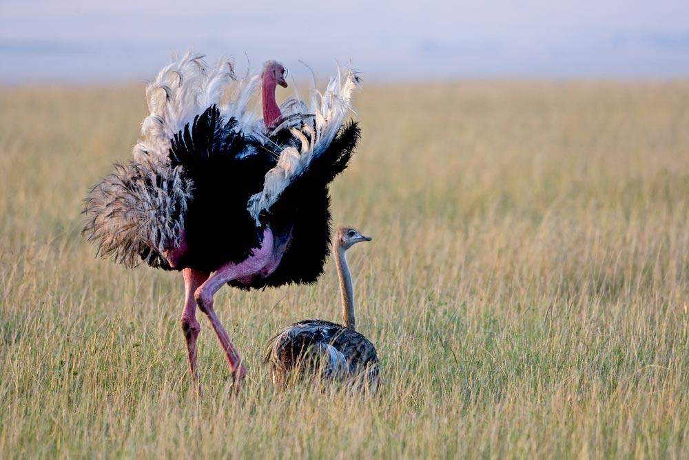 K282 Masai Mara, Straussenpaar / ostriches