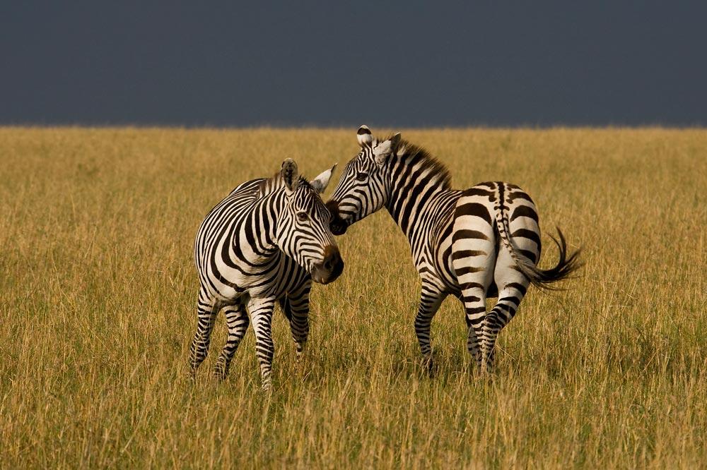 K289 Masai Mara, Zebras / zebras
