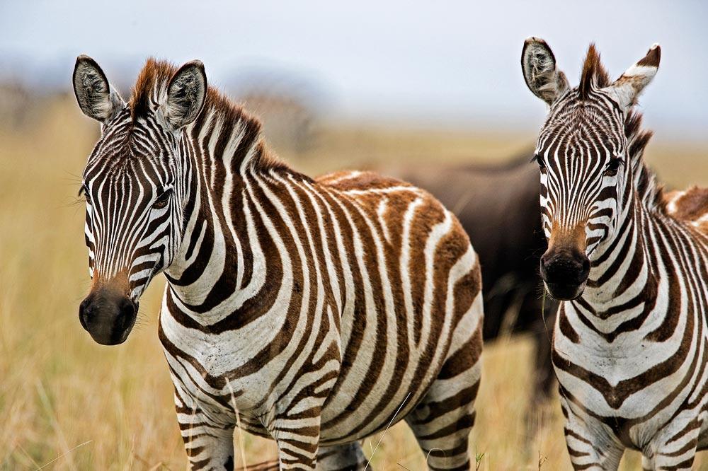K290 Masai Mara, Zebras / zebras