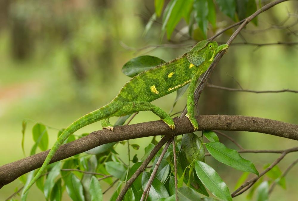 K304 Chamäleon / chameleon