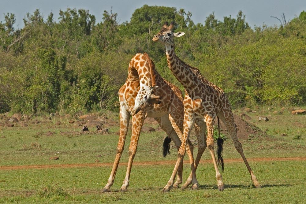 K328 Giraffenkampf / giraffes fighting