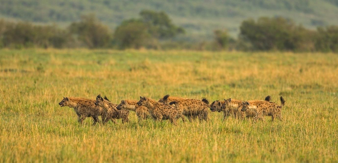 K342 Hyänen / hyenas