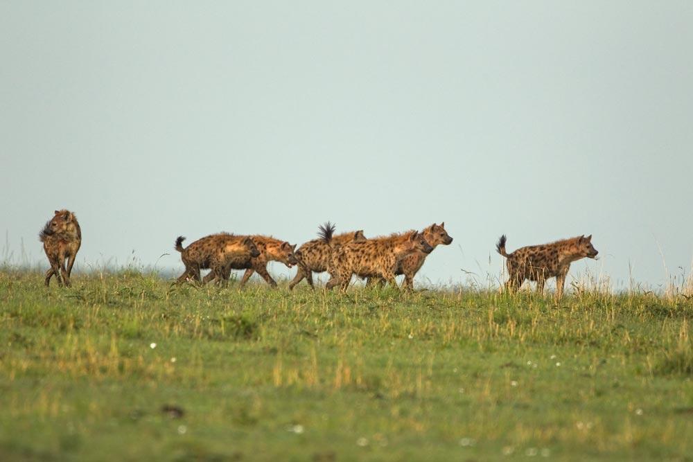 K343 Hyänen / hyenas