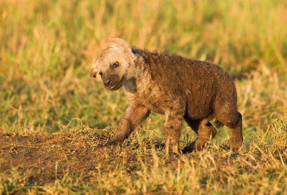 K344 Hyänenbaby / baby hyena