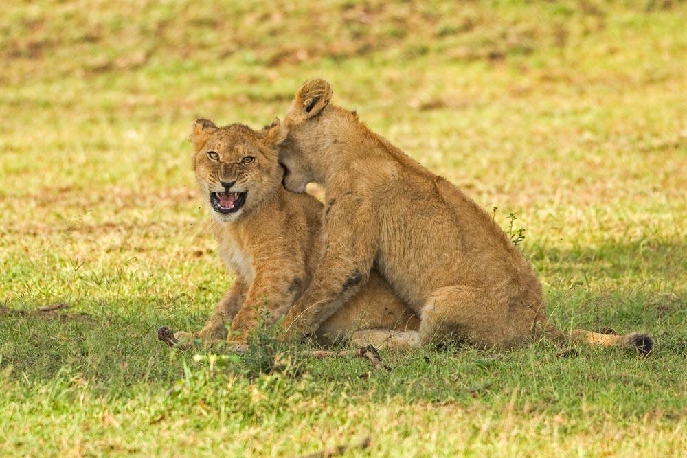 K350 Junge Löwen / young lions