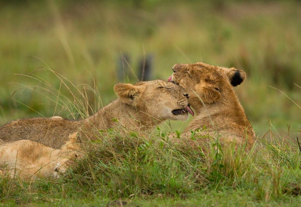 K351 Junge Löwen / young lions