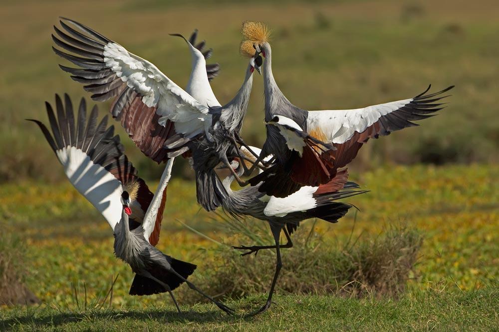 K356 Kronenkraniche / crowned cranes