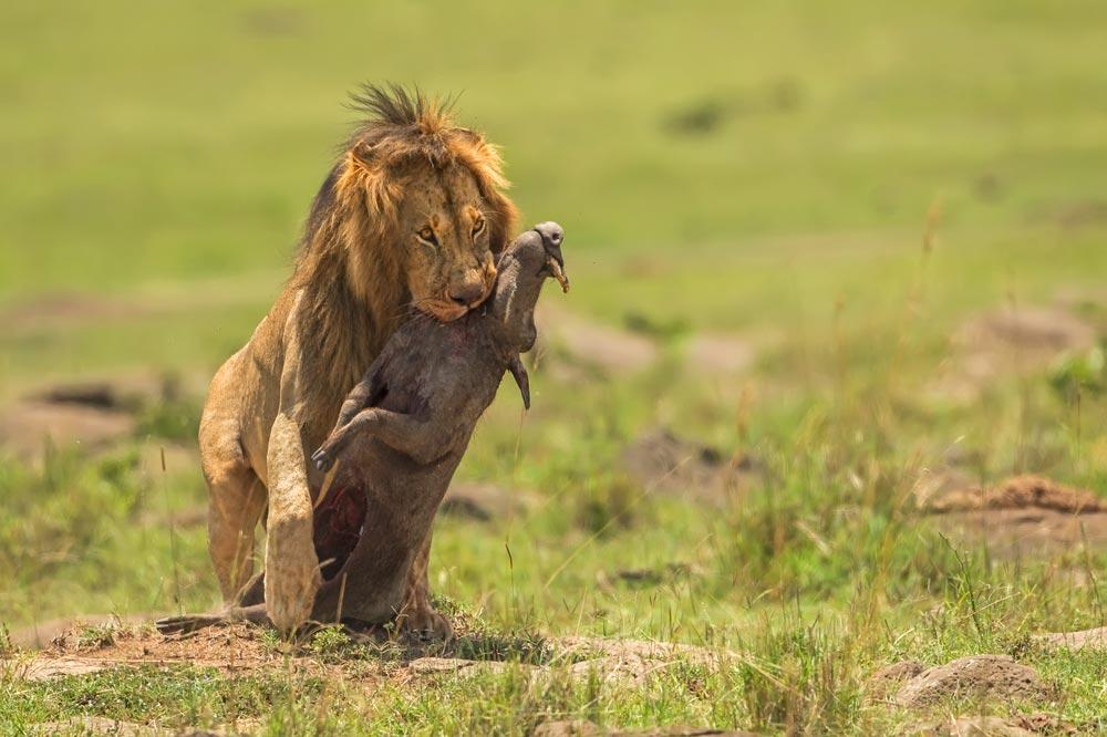 K366 Löwe mit Walzenschwein-Kill / lion with warthog kill