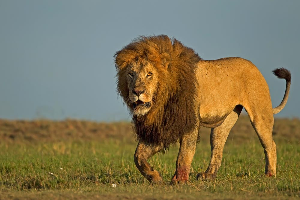 K369 Löwe / lion