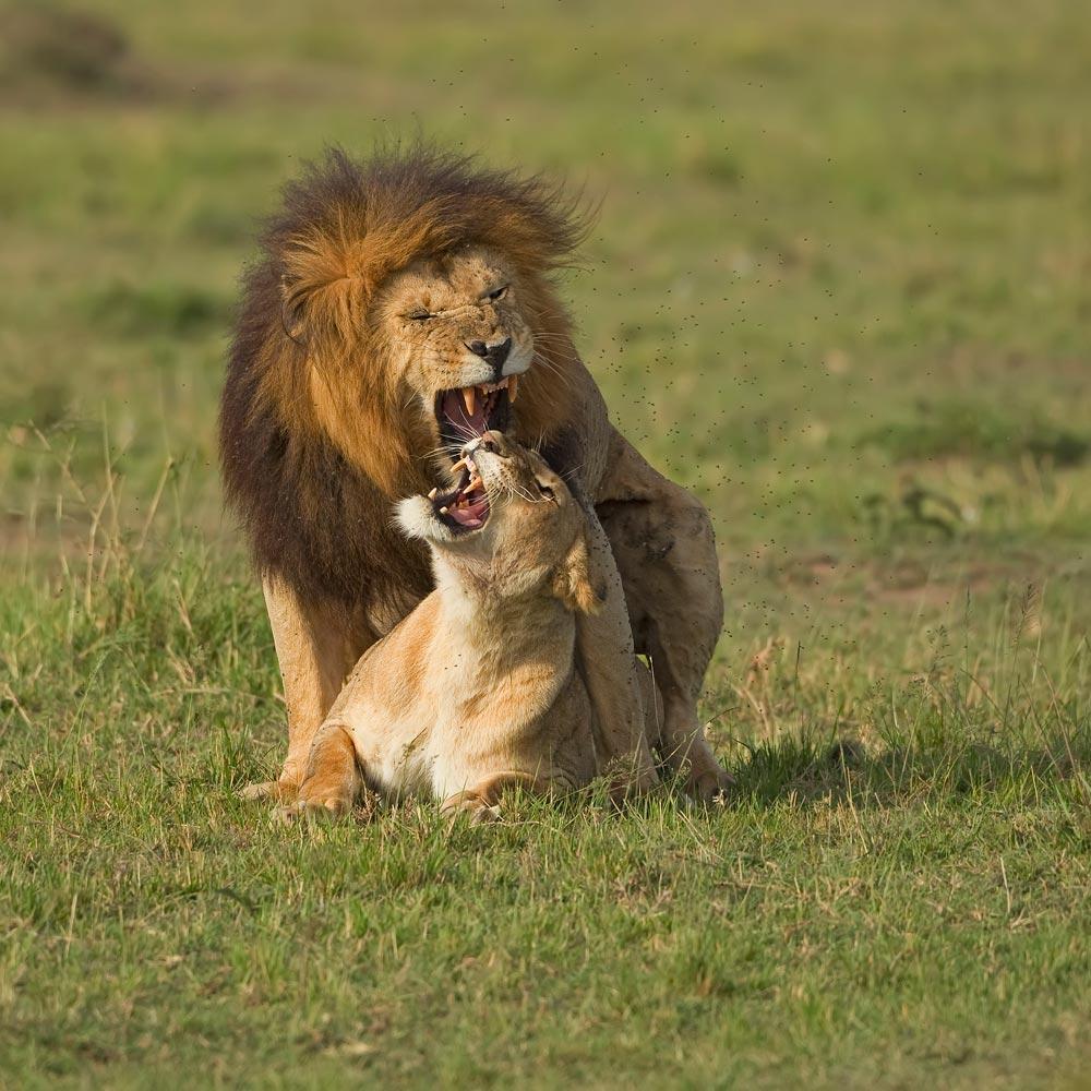 K375 Löwenpaarung / lions mating