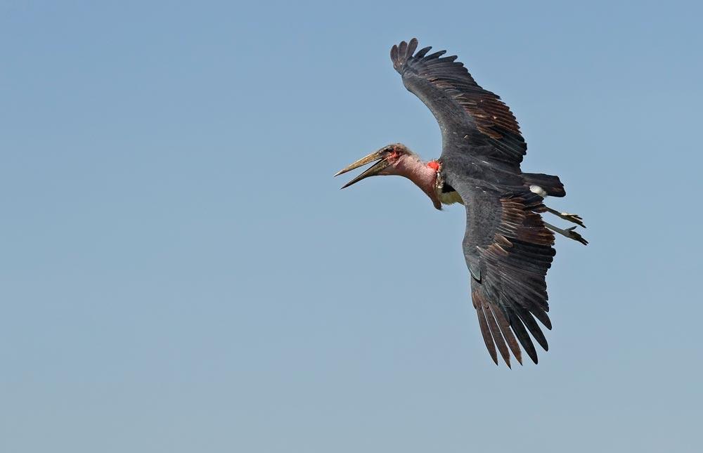 K379 Marabu / marabou stork