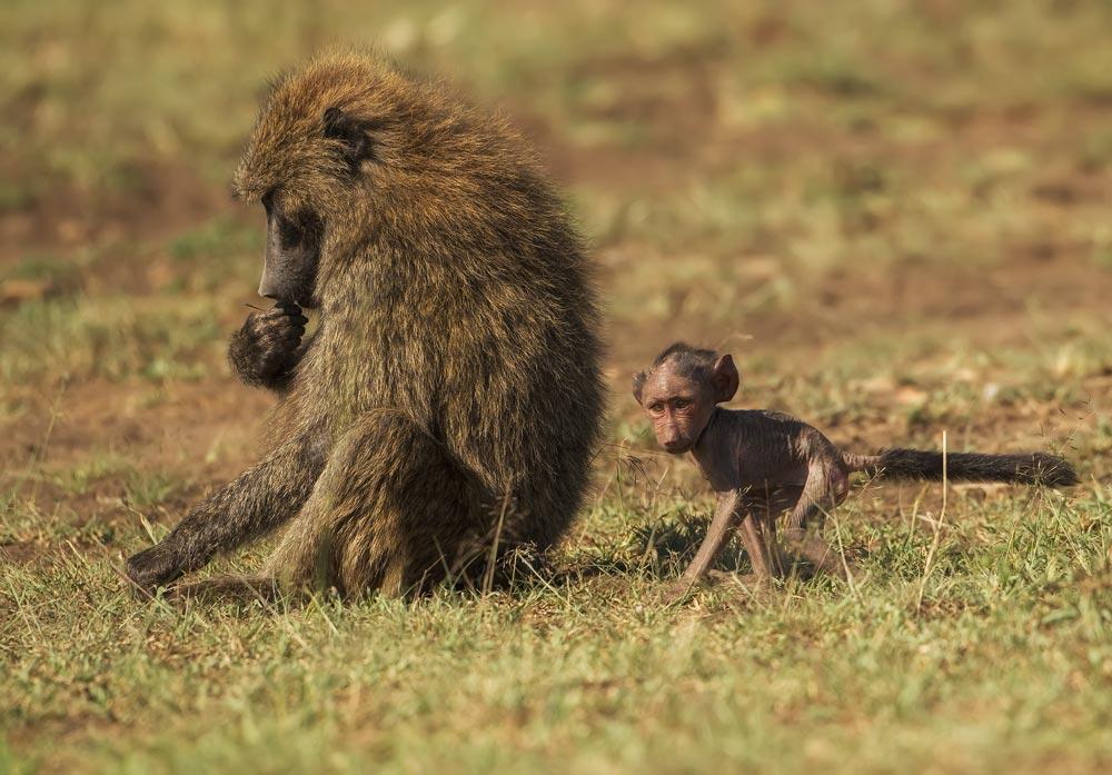 K386 Paviane / baboons