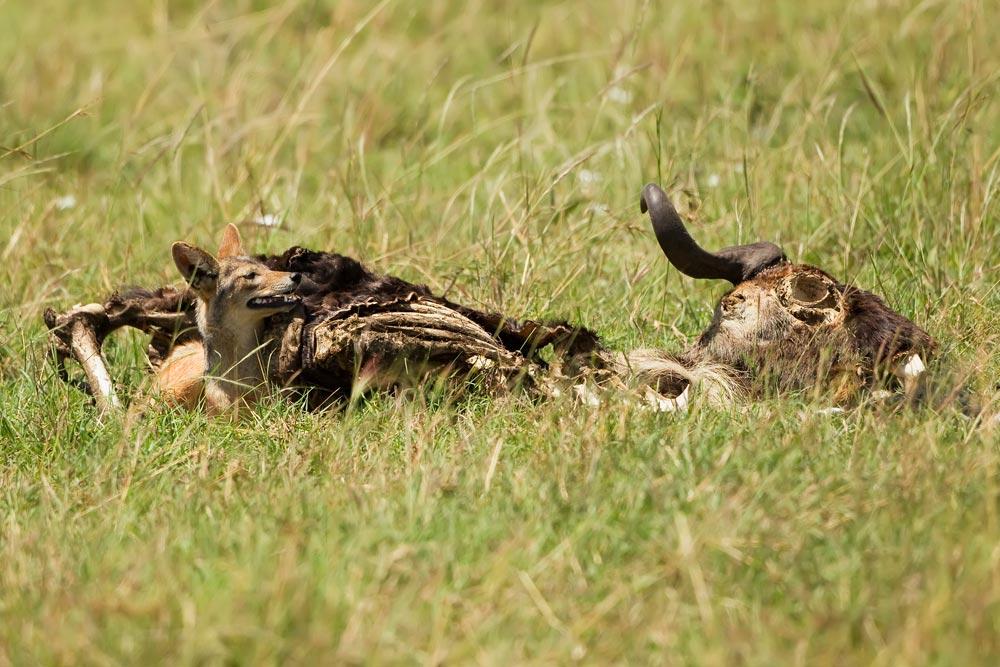 K392 Schakal in Gnukadaver / jackal inside wildebeest carcass