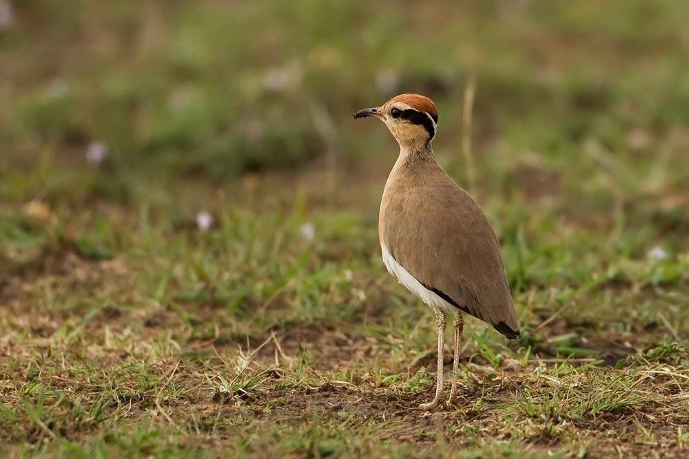 K400 Somali-Rennvogel / somali courser
