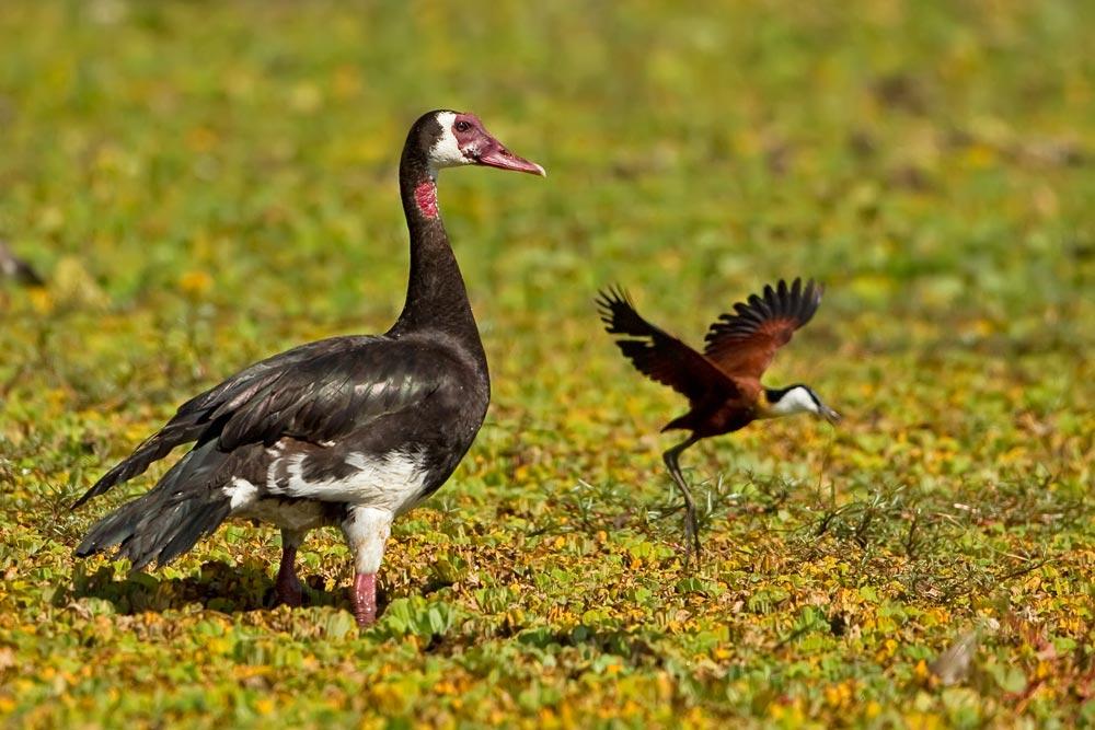 K405 Sporngans und Blatthühnchen / spur-winged goose and african jacana