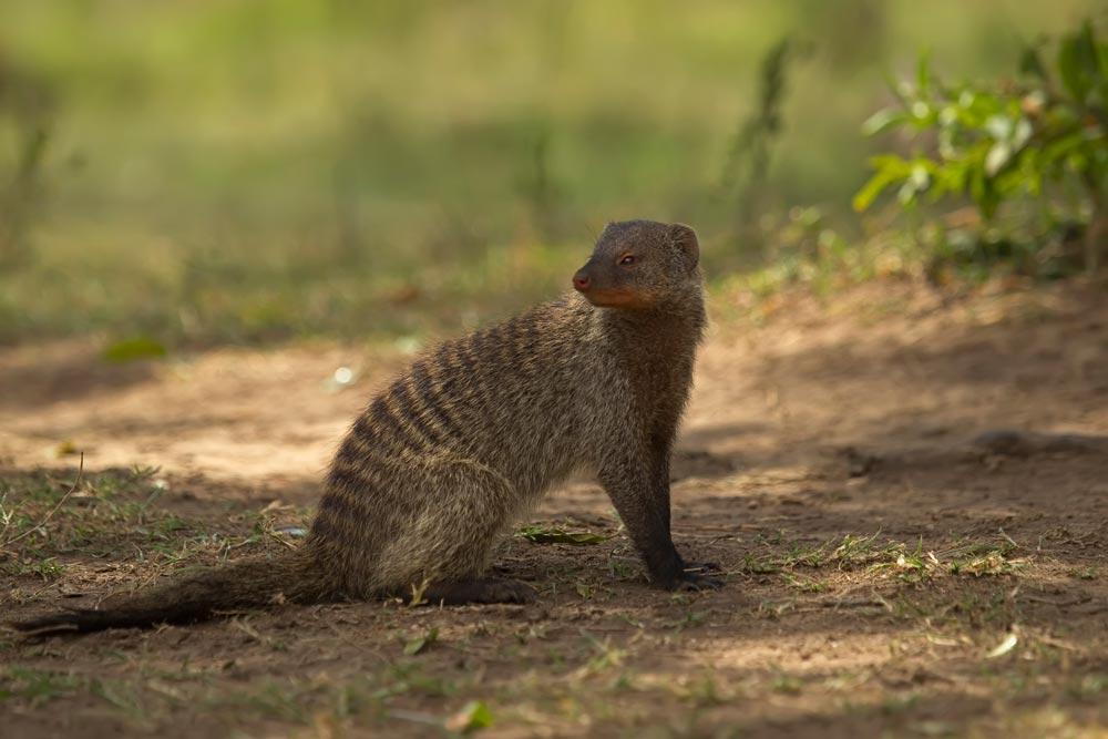 K316 Zebramanguste / banded mongoose