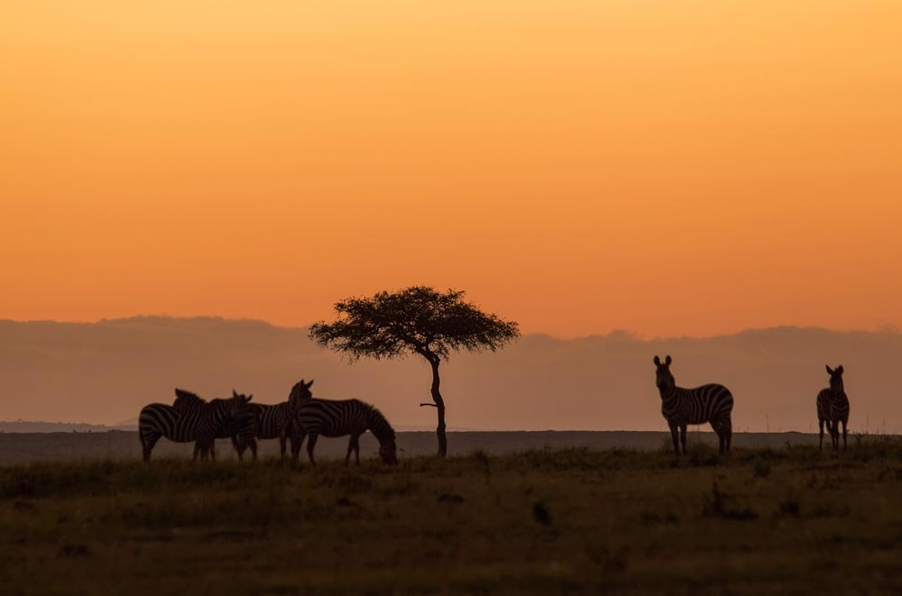 K317 Sonnenaufgang, Zebras / sunrise, zebras