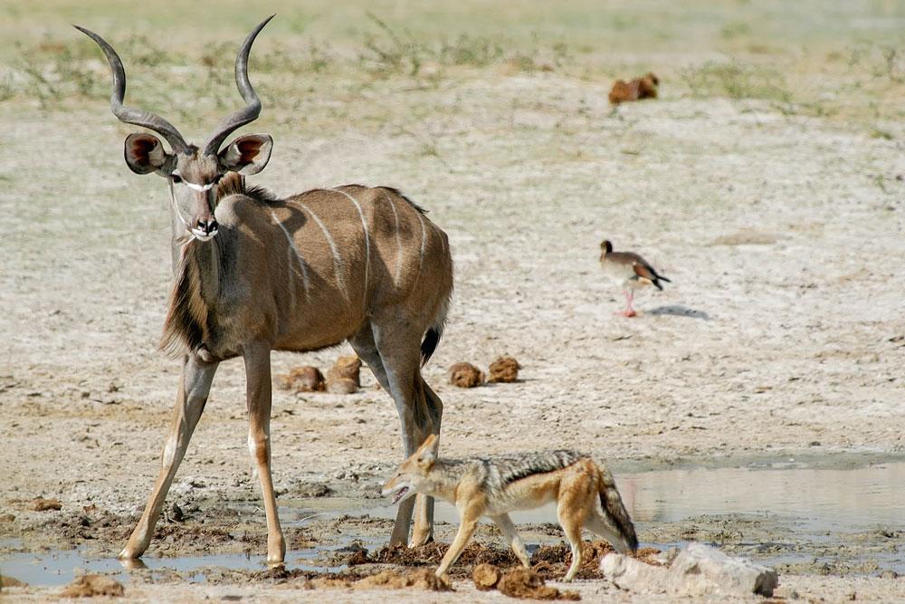 N41 Kudu und Schakal / kudu and jackal