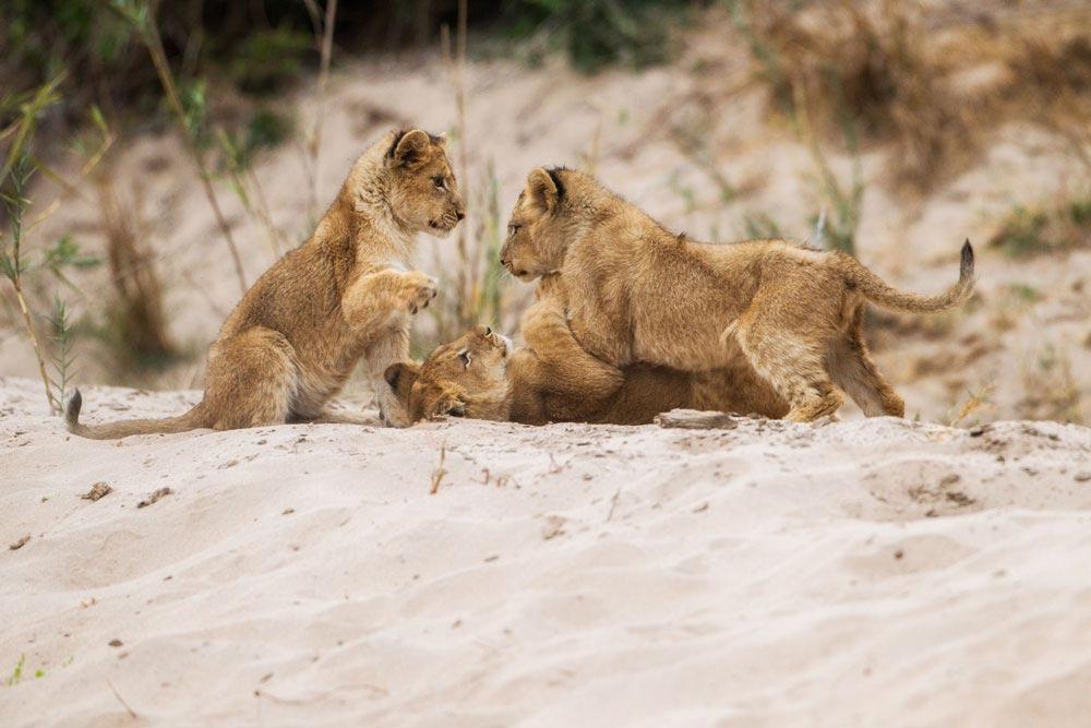SA287 junge Löwen / young lions