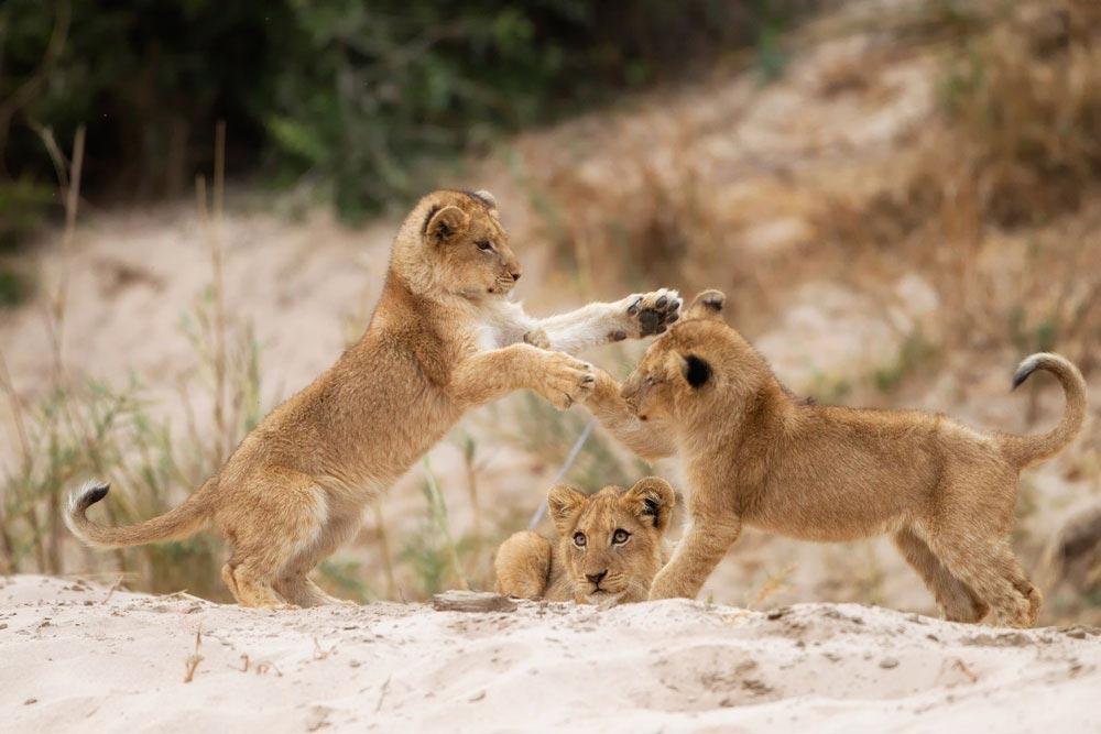 SA288 junge Löwen / young lions