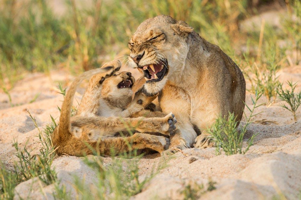 SA289 junge Löwen / young lions