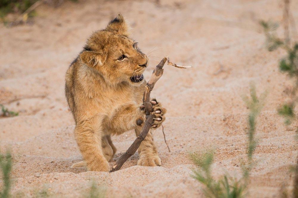 SA290 junger Löwe / young lion