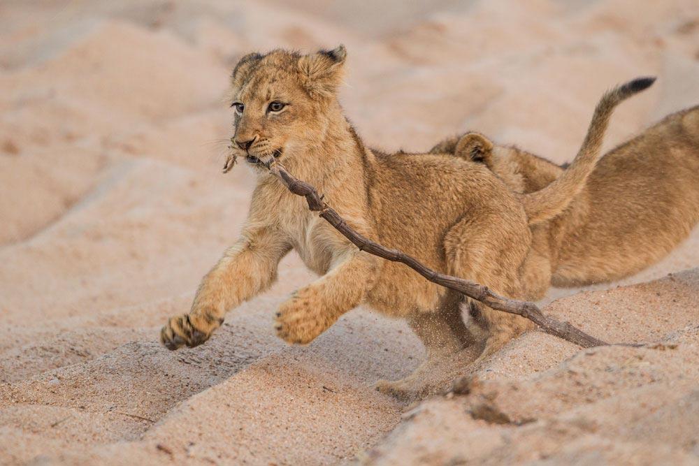 SA291 junger Löwe / young lion
