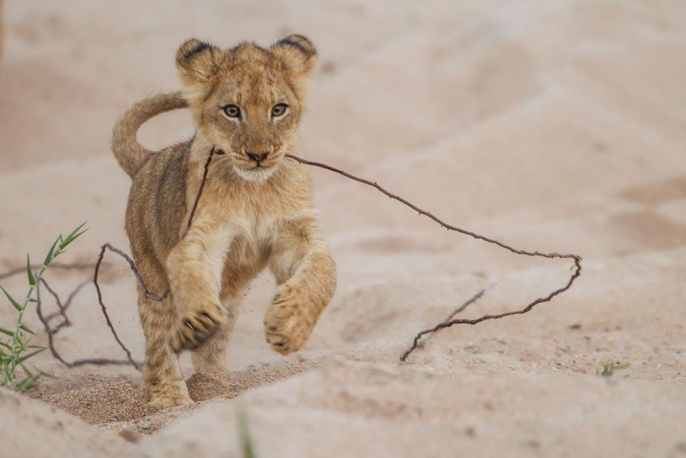 SA292 junger Löwe / young lion