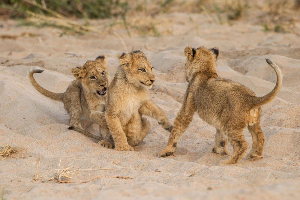 SA293 junge Löwen / young lions