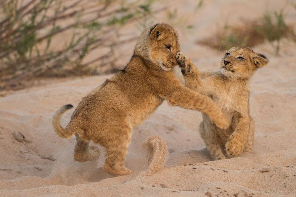 SA294 junge Löwen / young lions