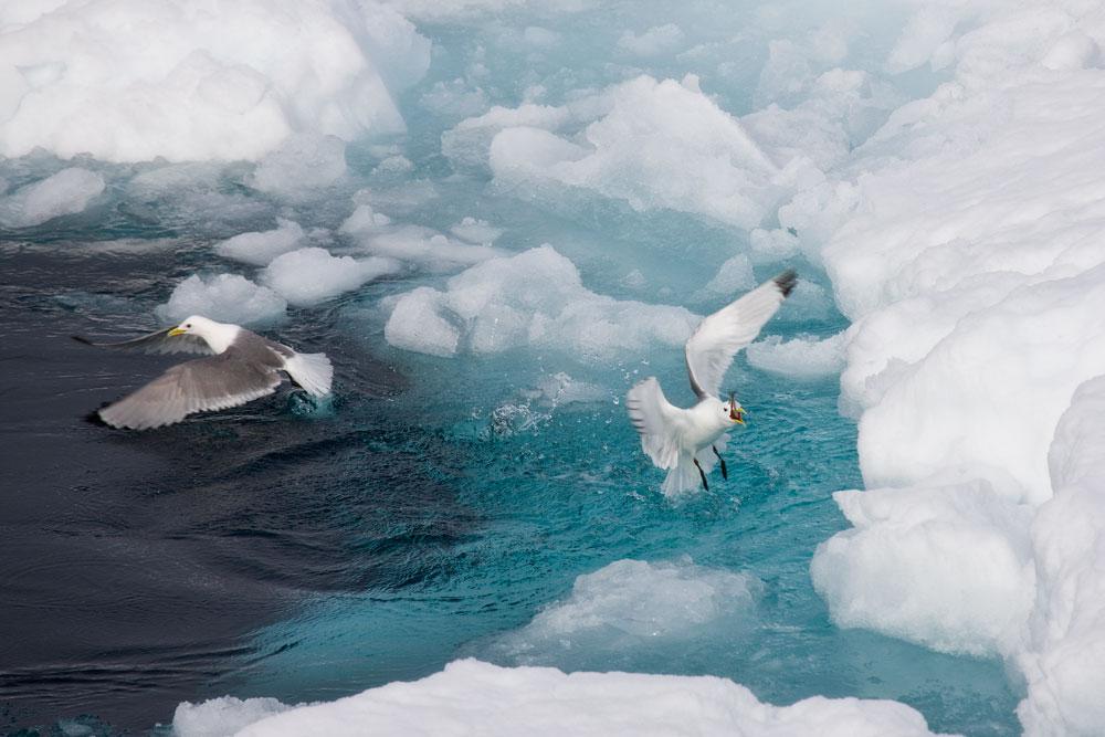SP30 Eismöwen / glacous gulls