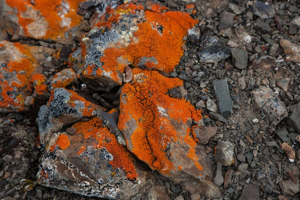 SP104 Arktische Flechten / arctic lichen
