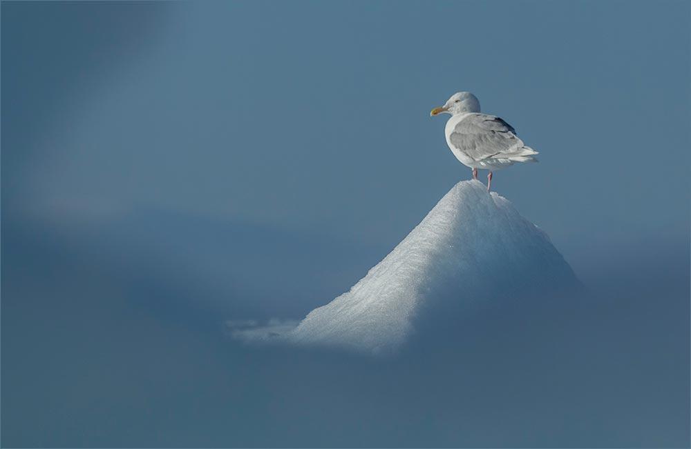 SP136 Eismöwe / glaucous gull