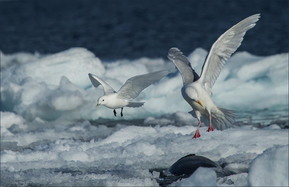 SP134 Eismöwe und Elfenbeinmöwe / glaucous gull and ivory gull