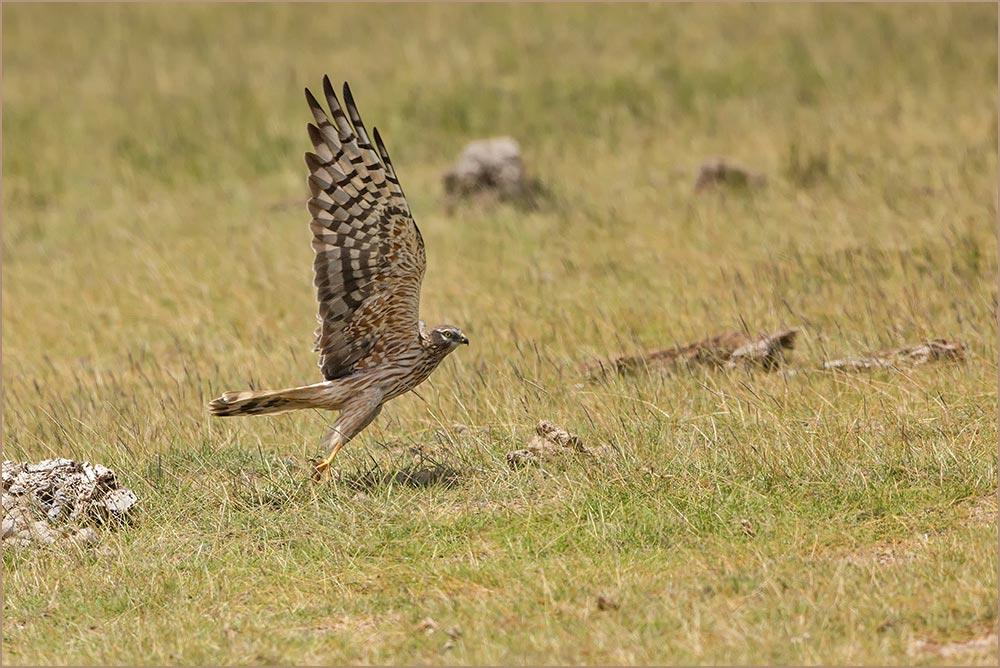 T011 Amboseli, Fleckenadler / Ayres' hawk eagle