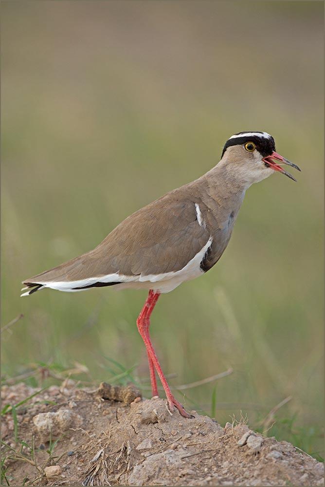 T017 Amboseli, Kronenkiebitz / crowned plover