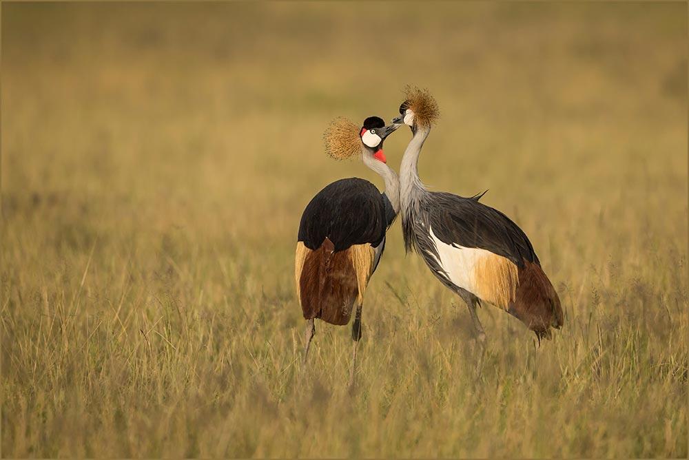 T019 Amboseli, Kronenkranich / crowned crane