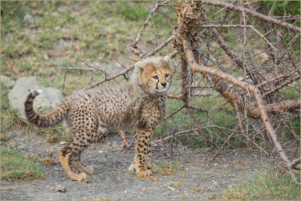 T044 Ndutu, junger Gepard / young cheetah