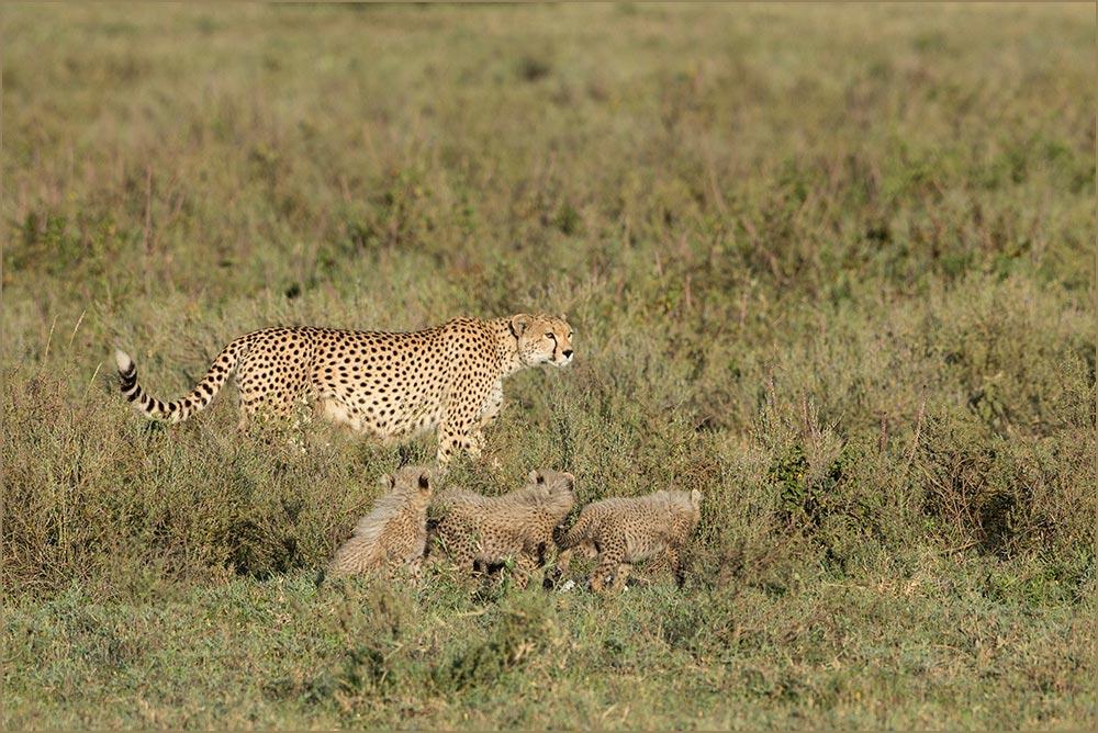 T047 Ndutu, Gepardin mit Babies / cheetah with cubs