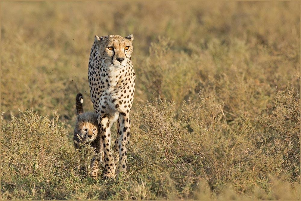 T048 Ndutu, Gepardin mit Baby / cheetah with cub