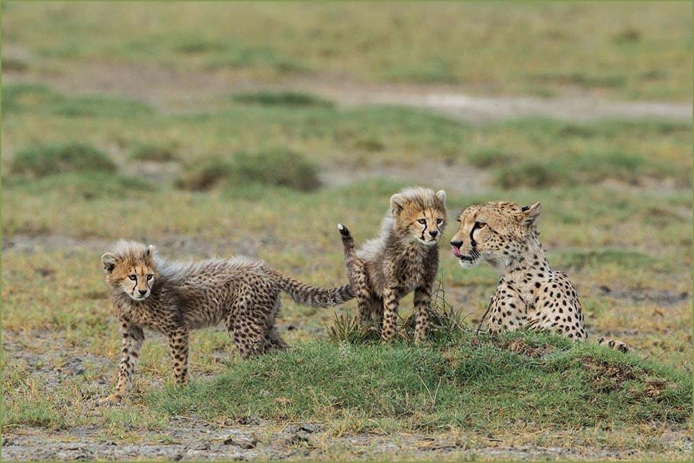 T050 Ndutu, Gepardin mit Babies / cheetah with cubs