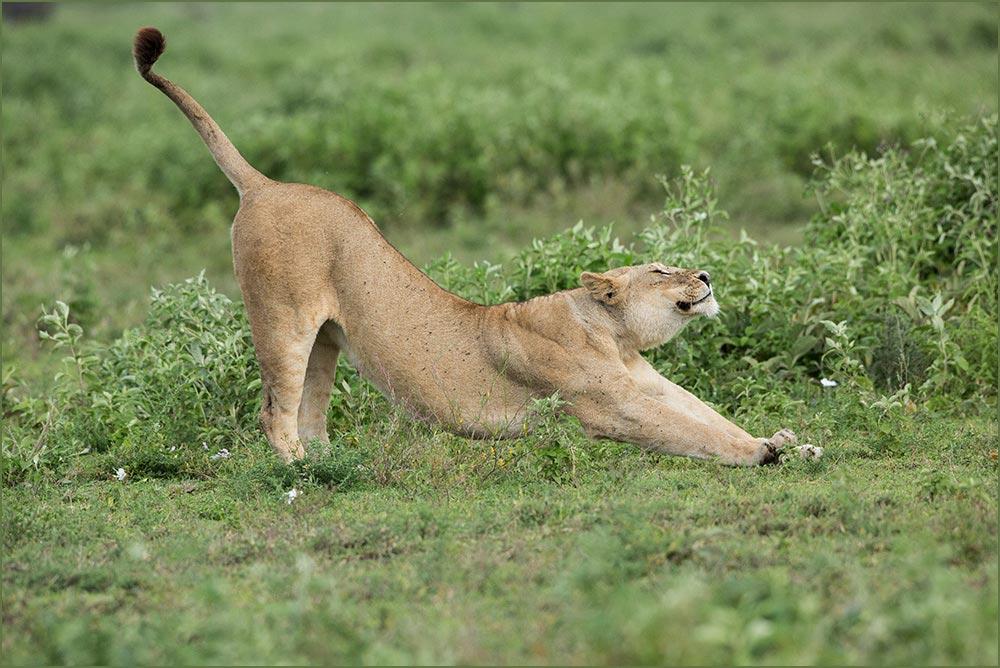 T073 Ndutu, Löwin / lioness