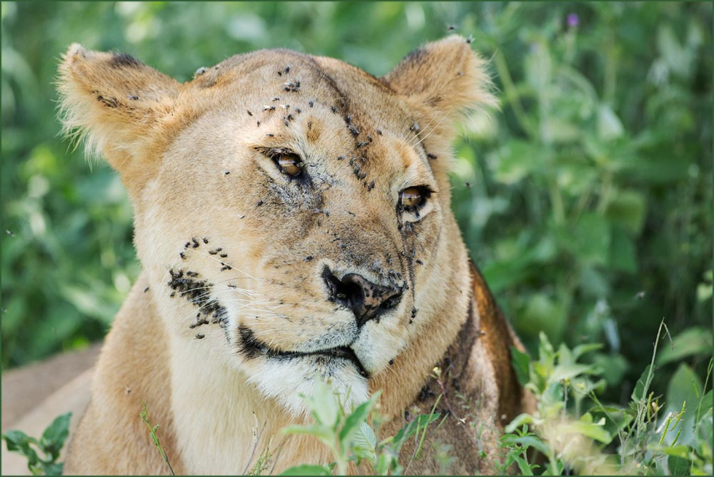 T075 Ndutu, Löwin / lioness