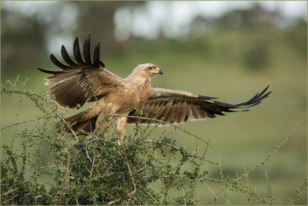 T076 Ndutu, Raubadler / tawny eagle