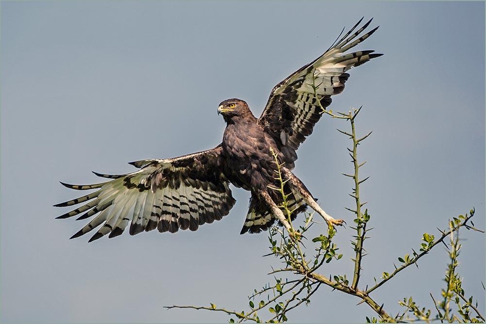 T079 Ndutu, Schopfadler / long-crested eagle