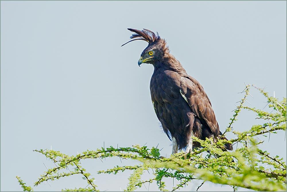 T080 Ndutu, Schopfadler / long-crested eagle