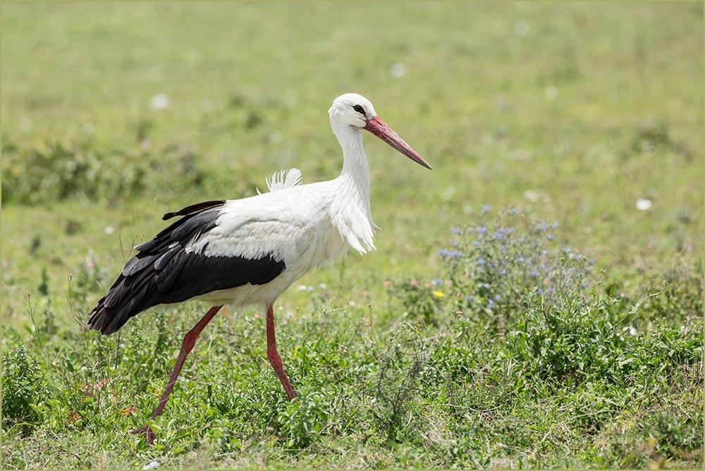 T089 Ndutu, Weissstorch / white stork